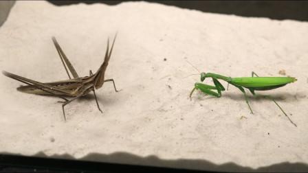 将螳螂和蚂蚱关一起,才明白谁是!网友:真是招招致命!