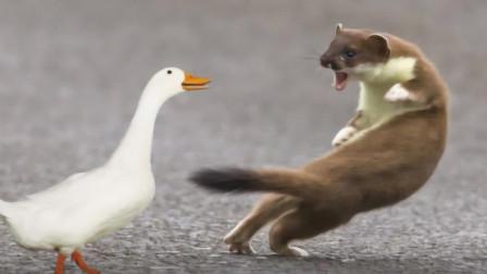 為啥黃鼠狼最怕的是鵝?難道黃鼠狼打不過它?原來是有依據的