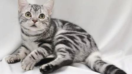 美国短毛猫值得养吗?了解完它的特性,我决定养一打!
