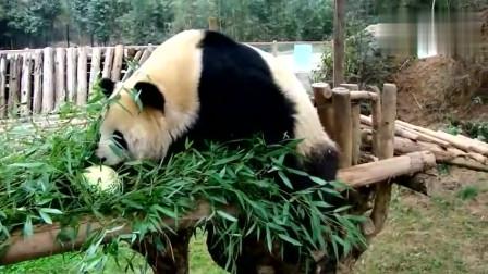 大熊猫俺要吃竹子,这瓜是几个意思
