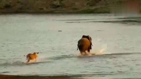 大象不发威,小狮子还以为是智障大象