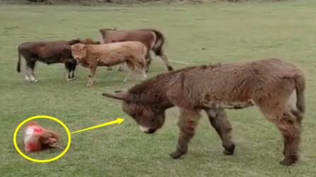 小泰迪作死挑衅毛驴,用头撞完毛驴后,忍不住怀疑人生