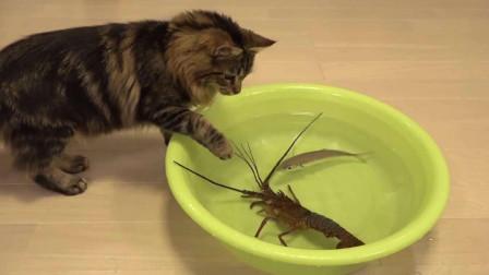 猫咪遭到龙虾围攻,步步紧逼以后,猫咪竟然做出了这种事