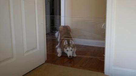 看到门被塑料布封了,哈士奇不敢进直接怂了,我拆家队长的气势呢