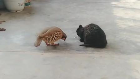 农村人养出来的猫子太狠了,发现鸽子来抢食上去就给一拳,厉害了!
