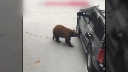 成精了!美国加州一只熊自己熟练开车门上车