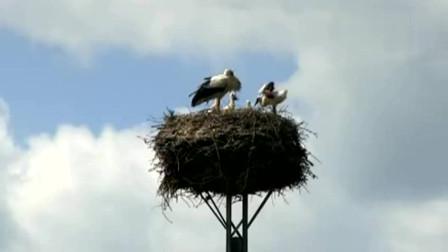 好傻的大鸟,把窝筑在电线杆上,不怕天敌吗