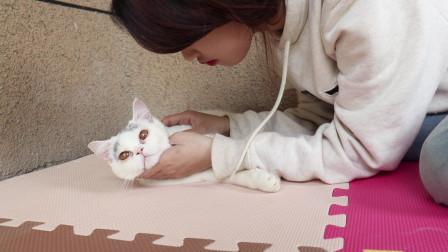 猫咪生出两只超级可爱的英短蓝白小奶猫,铲屎官非常开心!