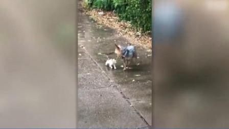 好有爱!狗狗雨天外出遛自己 捡回一只小奶猫