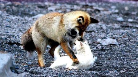 猫和狐狸的对决,猫的功夫可不是花架子,镜头拍下全过程