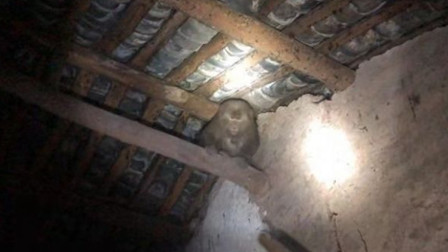 【重庆】野生猴子窜入居民家中 在房梁上蹿下跳躲避抓捕