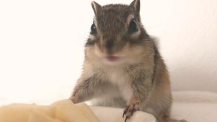超可爱的花栗鼠吃播,这个声音太酥了