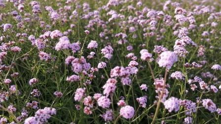 深圳湾边的花🌸