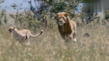 6只非洲猎豹遇上雄狮母猎豹为保护小豹子冒险挑衅狮子