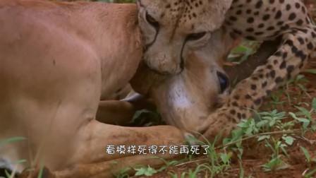 """这只羚羊就是""""戏精"""",装死从4只猎豹口中逃生,太机智了。"""