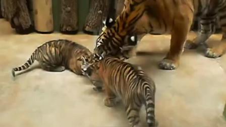 虎毒不食儿老虎生了两只小幼崽,吃顿饭都没法安宁