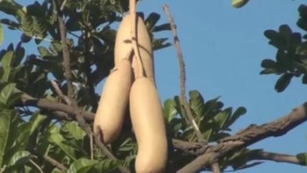 """非洲人为什么懒?当看到非洲的""""香肠树"""",换成我,我也不愿意种地!"""