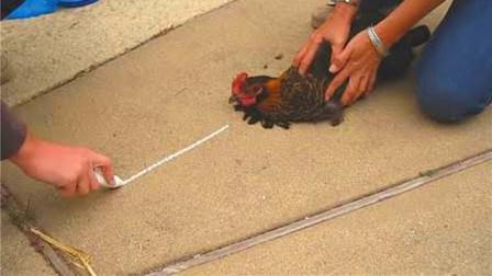 对着鸡画一条直线,鸡会有怎样的反应?结果让人太意外了!