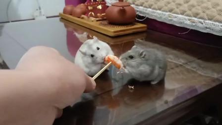 仓鼠布丁和紫仓从小打生死仗的,现在为了吃虾在我的劝说下还能打不?