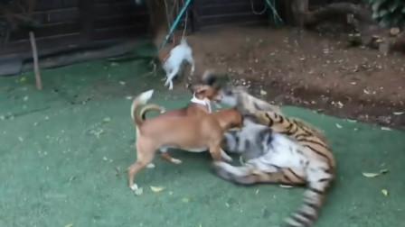 两只小猎犬制服一只大老虎,人工饲养的老虎已经失去了野性和狗狗为友
