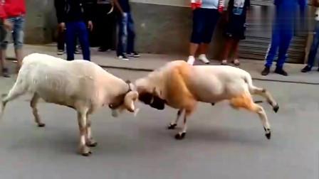 实拍两只公羊在街头打架,脑袋瓜子撞痛了吧