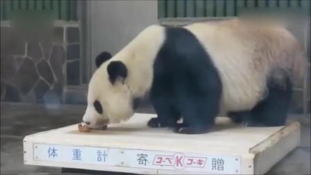 今天的早餐没有胡萝卜,熊猫旦旦生气地转过身去,只留背影给大家