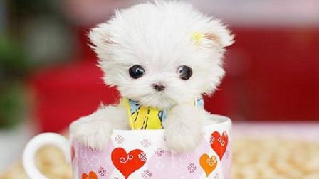 上万一只的茶杯犬,到底是怎么来的?