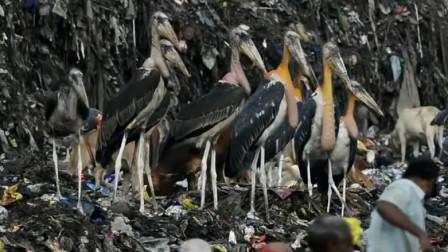 印度最大的垃圾场,生活的鸟比牛还大,为何贫民却不吃它们?