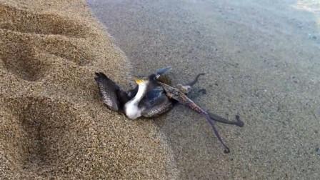 海鸥捉住了一只章鱼,却反被章鱼缠住拖入海中,镜头记录全过程!