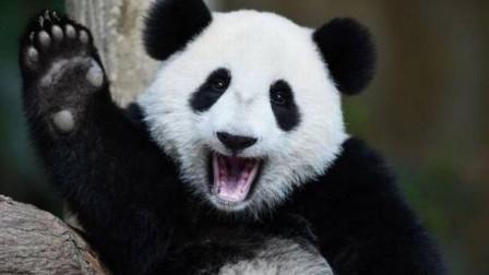 世界上第一只被退货的大熊猫,租期还没到就被送回国,原因亮了