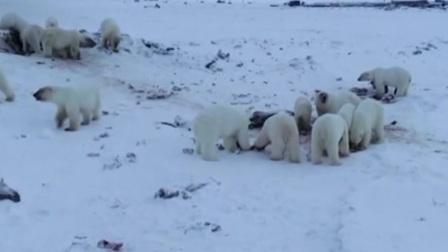 俄罗斯 北极熊频繁现身人类居住 不速之客 50多只北极熊闯入小镇 新闻早报 20191208 高清