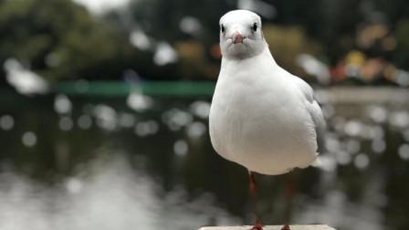 你冬季来云南旅游,可以在昆明看到红嘴鸥,再游一下翠湖周边景点