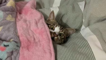 【狸花猫】我麻麻的睡衣它天天当被子盖,睡的也太香了8!