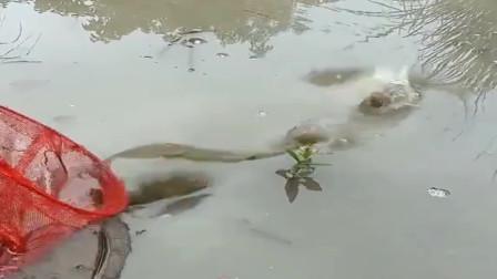 池塘里发现一条大草鱼,小伙正准备用抄网捕获,结果这鱼自己钻进桶里了