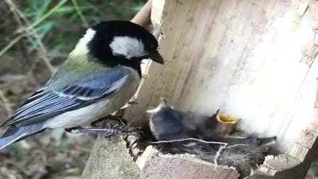山上采药拍下的一幕,小鸟妈妈叼来虫子喂孩子,这或许就是母爱的伟大!