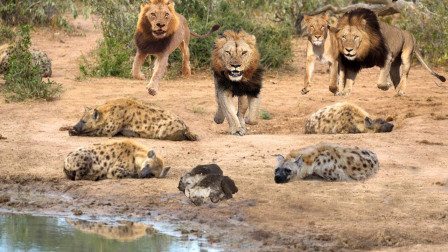 鬣狗咬死小狮子惹怒母狮,遭到狮子疯狂报仇,镜头记录惨烈画面