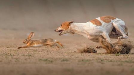 兔子戏耍细犬,步步设坑让你死,狗子这智商太着急了