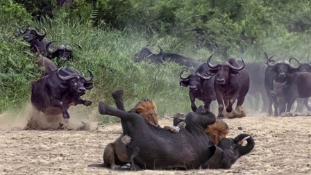 仗义!小象被草原霸主袭击,水牛不惜得罪霸主,拼死救小象