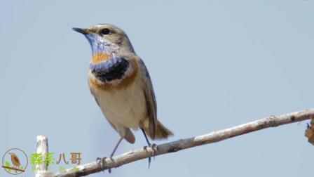 树枝上飞来一只唱歌的蓝靛颏鸟,叫声动听,似乎在模仿昆虫叫