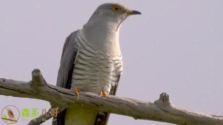 这种鸟叫声很多人都熟悉,农忙的时候听得最多