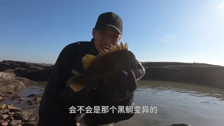 赶海小哥海边寻水坑,捕获了一条变异的巨型黑鲷,发财了