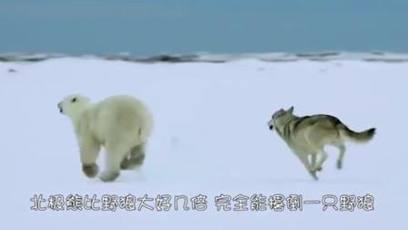 野狼偶遇一直北极熊,最后的胜利者会是谁呢?
