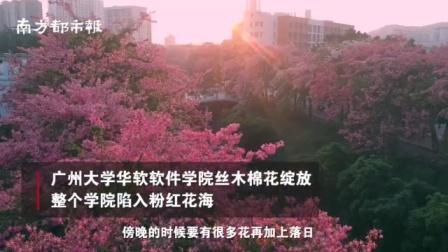 打卡广州丝木棉花海: 粉红花朵绽放的动漫世界,美到想恋爱!