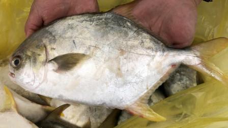 小倪赶海:深海鲳鱼一大筐,同样是鲳鱼,金鲳是银鲳个头的几倍