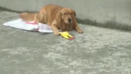 主人亲了金毛一口,金毛爬在地上打滚,太嫌弃了