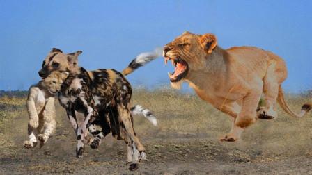 母狮子发狠太猛了,以1敌20吊打野狗,狮子:老娘天下第一