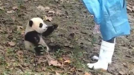 熊貓寶寶實力演繹什么叫滾滾前躲后閃憋拉我人家吃胡蘿北呢
