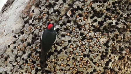 啄木鸟不是好鸟?啄木鸟为什么不会得脑震荡?看完涨知识了!