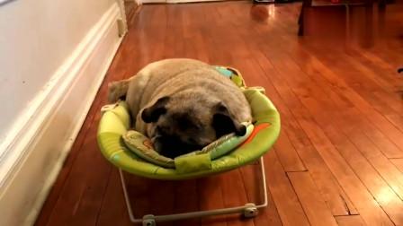 八哥犬霸占小主人的婴儿床睡得特别香,居然还发出呼噜声