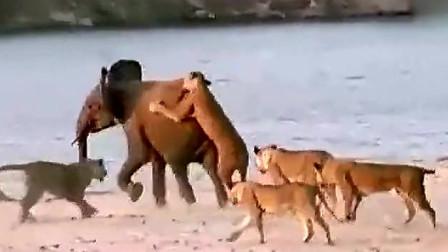 20只狮子猎捕一头大象,看大象能否狮口逃生